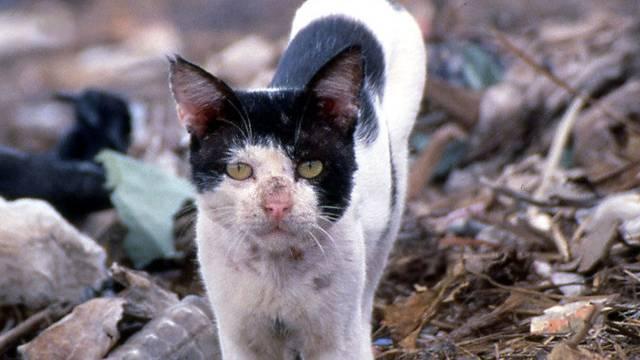 Streunende Katzen sollen gemäss dem STS kastriert statt abgeschossen werden (Symbolbild)