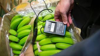 Geliefert werden die Bananen noch in Grün.