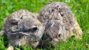Breite, im Ackerland liegende Brachen und dünner als üblich eingesätes Wintergetreide dient dazu, dass die Junghasen besser geschützt sind vor Fressfeinden. (Symbolbild)