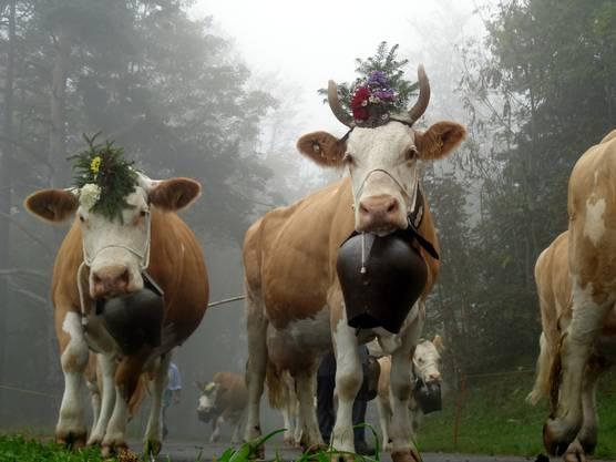 Die sechs Bauernfamilien schmücken ihre Kühe mit Blumen, Treicheln und Glocken. Hier präsentieren sich die Kühe von Adrian und Ueli Kamber, Ober Passwang.