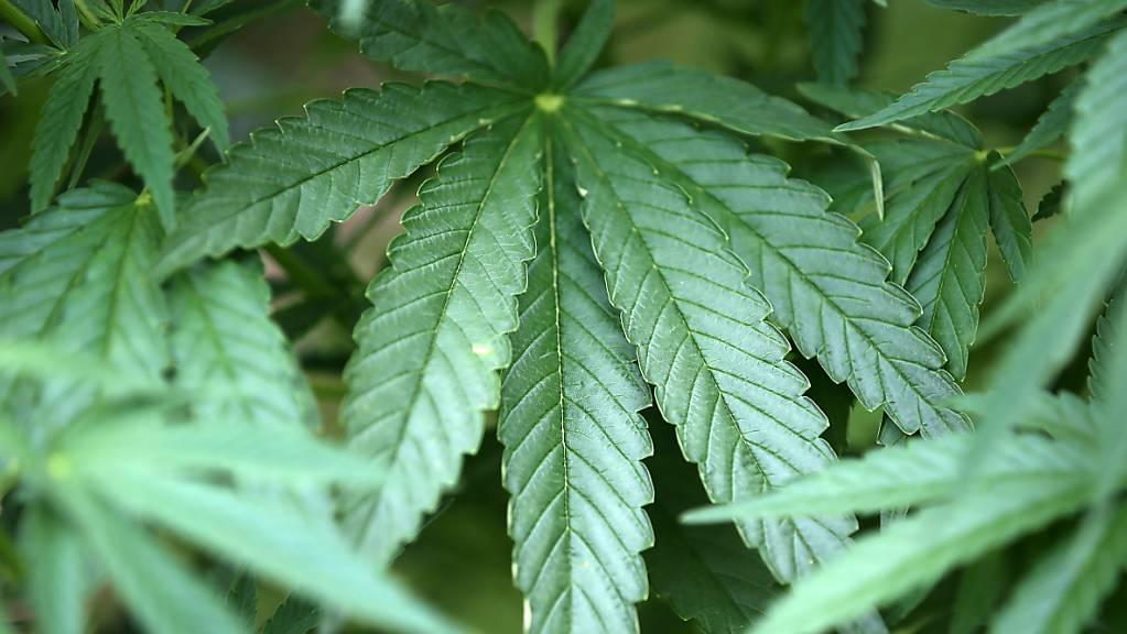 In Italien könnte schon im nächsten Jahr über die Legalisierung des Anbaus von Cannabis abgestimmt werden. (Symbolbild)