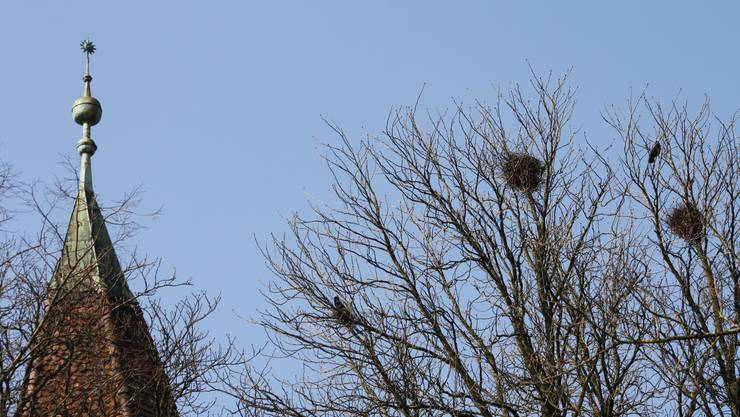 Nester der Saatkrähen bei der Krummturm-Schanze.