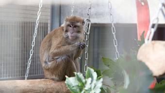 Bilder von den MakakenMännchen, die im Gehege an der Uni Irchel leben, gibt es laut der Uni noch keine. Das Bild zeigt einen Makaken, der früher im Gehege lebte.