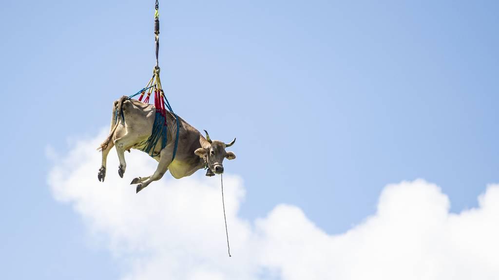 Kühe werden mit Helikopter von Alp geflogen