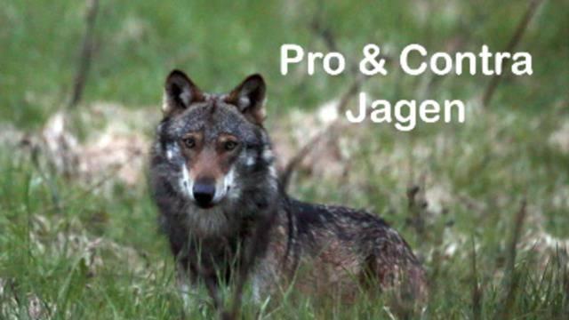 Emotionale Ständeratsdebatte: Darf der Wolf gejagt werden?