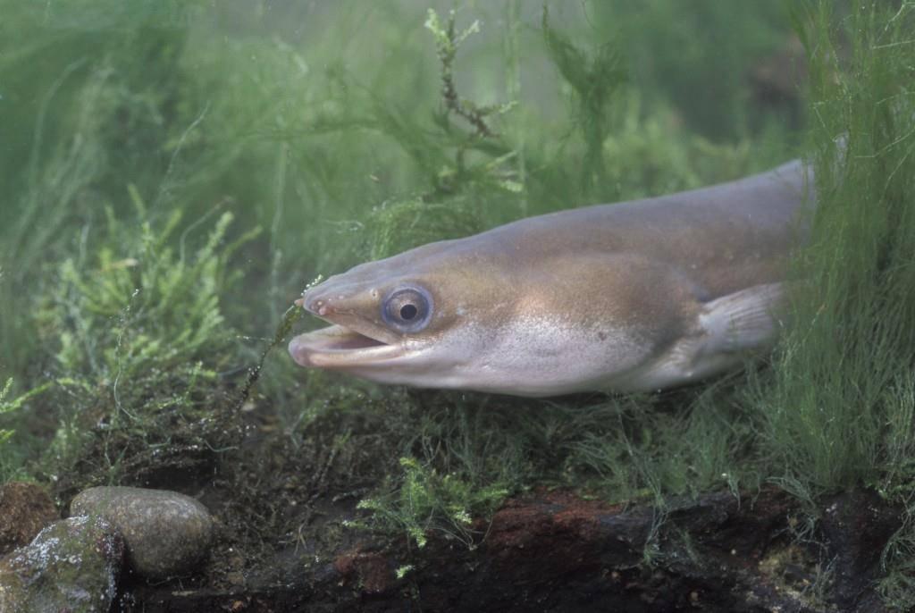 Die Schlange unter den Fischen: Der Aal