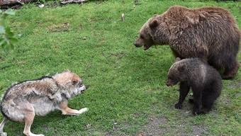 Wer wars? Spuren bei toten Schafen im Kanton Uri könnten von Wolf oder Bär stammen. (Symbolbild)