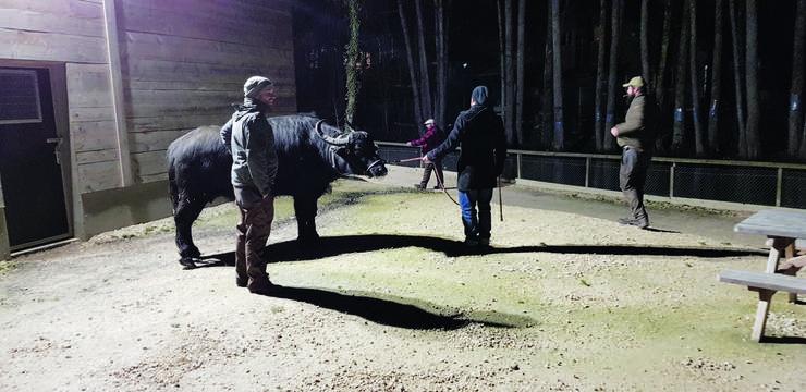 Um sie an ihre neue Heimat zu gewöhnen, gehen Tierpfleger mit den Wasserbüffeln im Zoo spazieren.