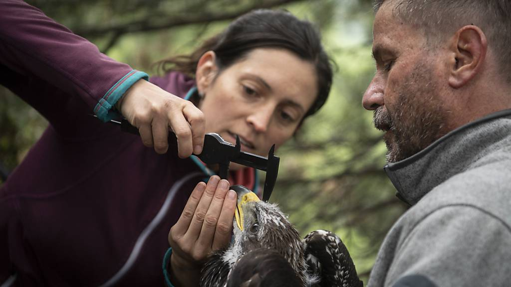 Biologen sind den jungen Steinadlern im Alpenraum auf der Spur