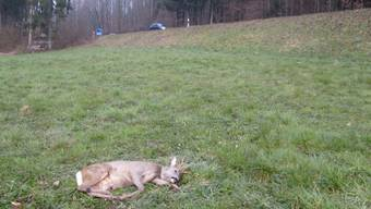 Ein Spaziergänger fand das angefahrene Reh schwer verletzt auf einem Feld nahe der Reithalle Holziken. ZVG