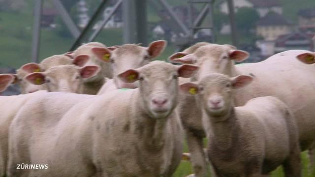 Schwyzer Bauern haben Angst vor Bär