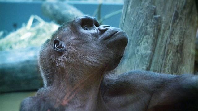 Grippewelle erreicht Gorillas