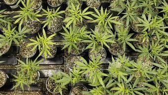 Für Cannabis sollen die gleichen Regeln gelten wie für hochprozentigen Alkohol.