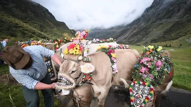 Alpabzug im Meiental UR: Kühe auf Heimweg nach Wassen