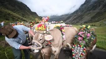 Die Alpkühe der Alp Hinterfeld im Meiental im Kanton Uri ziehen beim alljährlichen traditionellen Alpabzug mit Blumen und Glocken geschmückt hinunter ins Tal nach Wassen. Die Alpgenossenschaft Hinterfeld besteht aktuell aus 13 Genossenschaftsmitgliedern. Sie treibt jedes Jahr zusammen ca. 100 Kühe und 40 Rinder auf die Alp Hinterfeld - und Mitte September zurück ins Tal.
