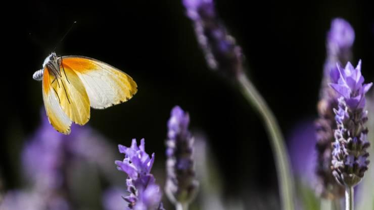 Grasse ist berühmt für seine weiten Lavendelfelder. (Archivbild)