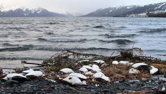 7. Januar 2016: Tote Trottellummen liegen am Strand von Whittier in Alaska.