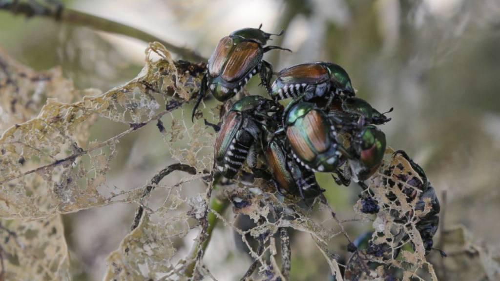 Japankäfer im Tessin erstmals in freier Natur nachgewiesen
