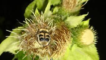 Befinden sich die Blüten der Kohldistel im Dunkeln, werden sie von mehr nachtaktiven Insekten aufgesucht.