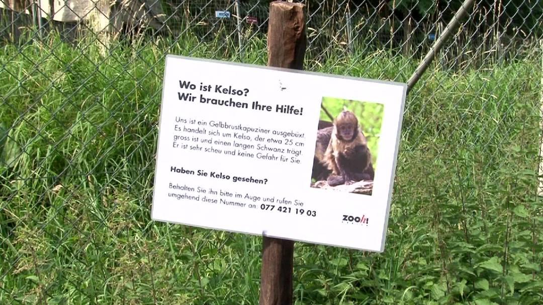 Die aktive Suche nach Kelso durch den Zoo Zürich wurde eingestellt. Der Zookurator Robert Zingg erläutert die möglichen Schicksale von Kelso. Dass kein Tier mehr entläuft, kann nicht garantiert werden.