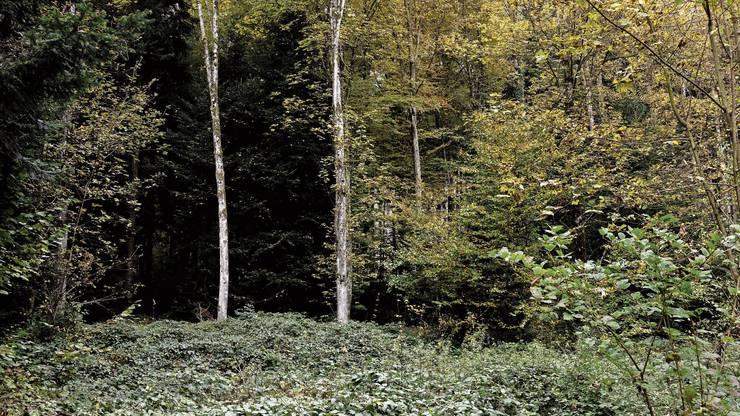 Dichter Brombeerbewuchs behindert nachwachsende Bäume.