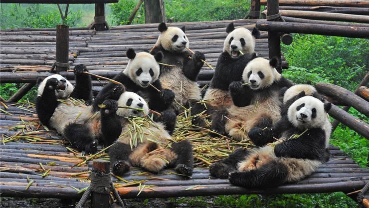 Essenszeit! Für die Besucher der Aufzuchtstation in Chengdu bedeutet das keine Eile. Der Grosse Panda frisst bis zu 19 Stunden am Tag und verdrückt rund 40 Kilogramm Bambus. Shutterstock