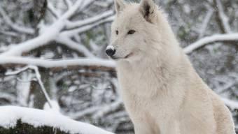 Die Umweltkommission will bei der Lockerung des Wolfsschutzes weiter gehen als der Bundesrat und der Ständerat. Luchse und Biber will sie dagegen verschonen.
