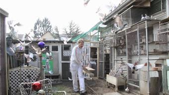 Beat Roth stellt die Futterkrippe gefüllt mit Körnern in den Taubenschlag. Seine Gäste sind schon aufgeregt.