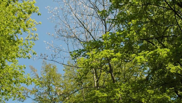 Nebst der Eschenwelke gibt es andere Krankheiten und Schädlinge, die die Bäume befallen. (Archiv)