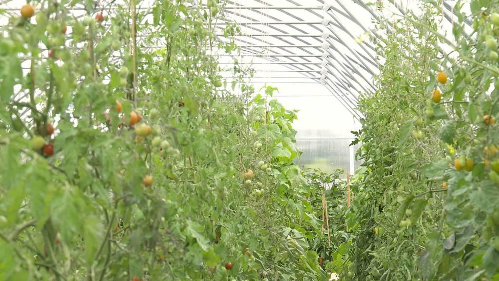 Ernteausfall: Thurgauer Bauern kämpfen gegen Tomatenvirus