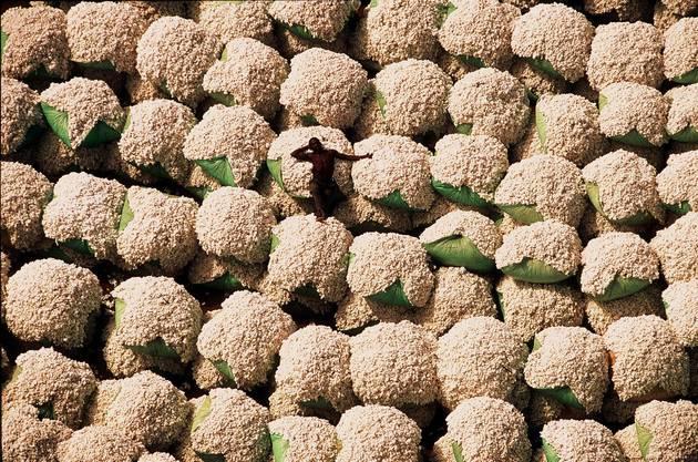 Baumwollernte in der Elfenbeinküste.