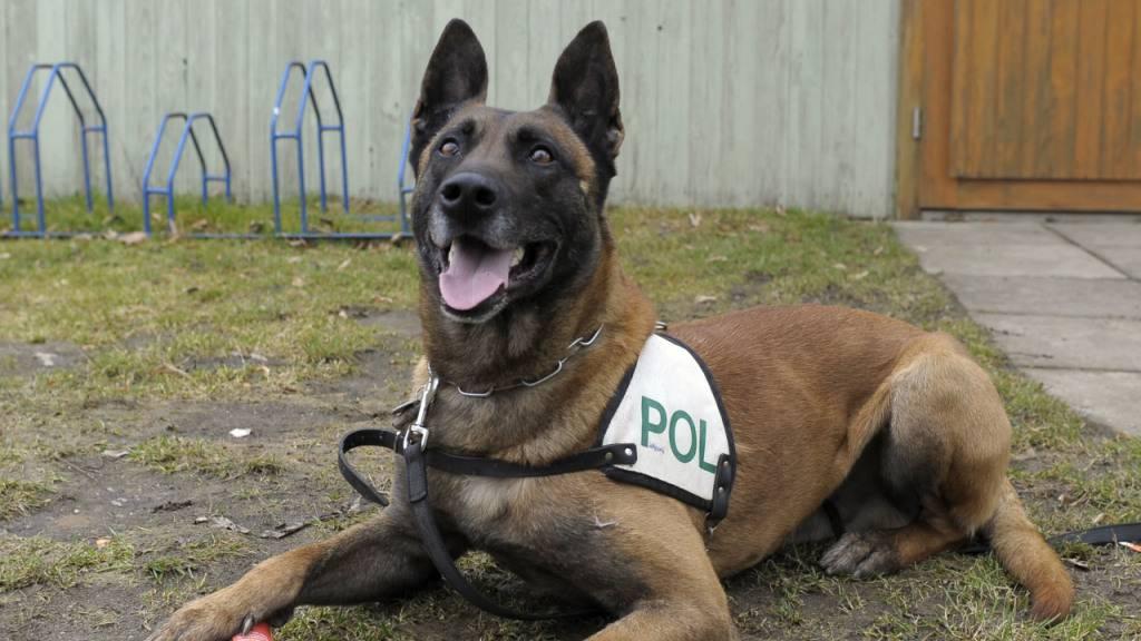 Bundeswehr-Hunde werden auf Erkennen von Corona-Infektion trainiert