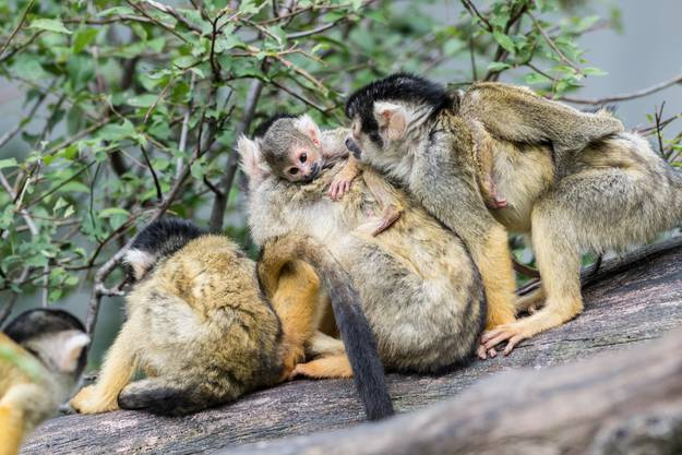 Die Kleinen werden die nächsten Wochen wohl noch auf den Rücken ihrer Mütter verbringen.