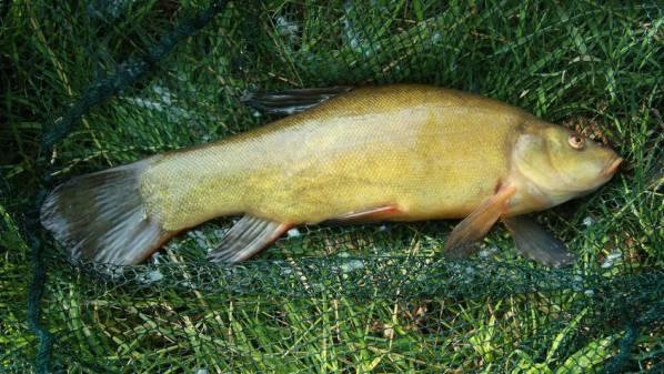 Eine Schleie, wie sie ab und zu aus dem Hallwilersee gefischt wird.