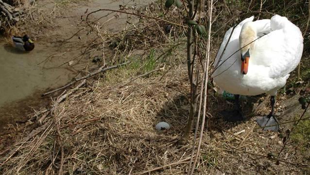 Tatsächlich: Die Brut am östlichen Aareufer hat bereits begonnen. Am Dienstag legte die Schwanendame das erste Ei.