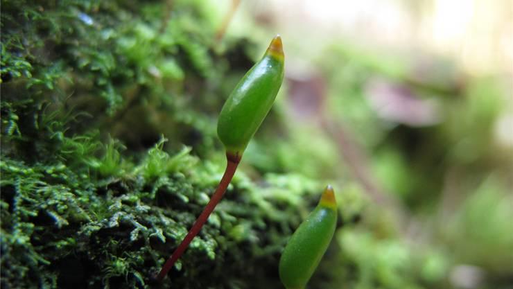 Das Grüne Koboldmoos ist erkennbar an der aufrechten grünen Sporenkapsel. Wolfgang von Brackel (zvg)