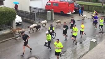 Wer rennt denn da mit? Schafe, Kühe und Esel am Wohltätigkeitslauf