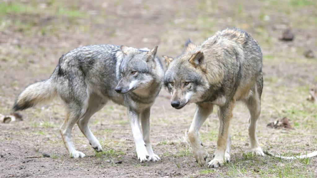 Macht sich unbeliebt unter anderem wegen Schafrissen: der Wolf. (Archivbild)