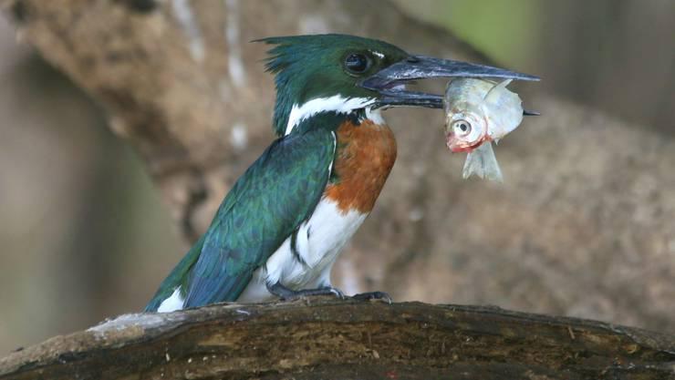 Ein Amazonasfischer mit seiner Beute. Bild: Win Schumacher