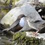 Fütterung des Nachwuchses bei den Wasseramseln in Dietikon