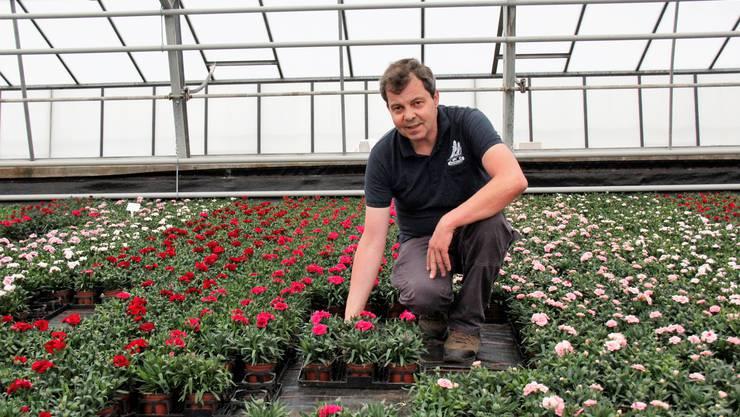 Hochbetrieb bei derGärtnerei Profiflor AG in Rüfenach:Dank Betriebsleiter Klaus Gallasch und seinen Mitarbeitern blüht es in den Gewächshäusern in den buntesten Farben.