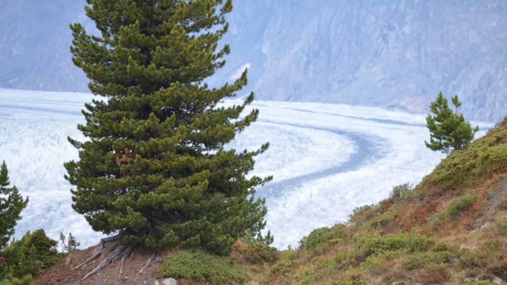 Die Arve könnte mit dem Klimawandel lokal aussterben