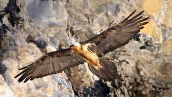 Der im Oberengadin aufgefundene tote Bartgeier hatte drei Schrotkugeln im Körper. Gestorben aber ist er im Kampf gegen einen Adler (Themenbild).