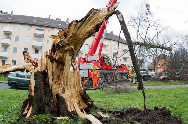Dieser mächtige Baum wurde von «Niklas» gefällt.
