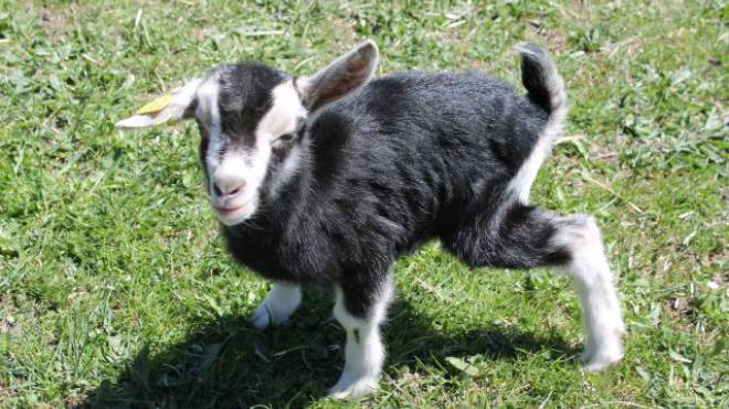 Zicklein Selina, das einen Tag vor Ostern geboren wurde, rennt schon seit seiner Geburt allem, was sich bewegt, hinterher und bricht aus dem Zaun aus. Nur mit Brot lässt es sich wieder einfangen.
