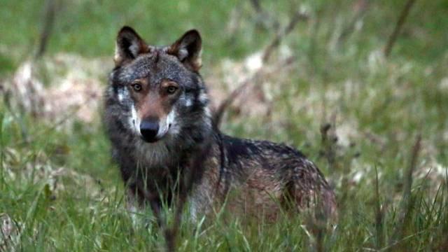 Das geschossene Tier war ein männlicher Jungwolf (Symbolbild)