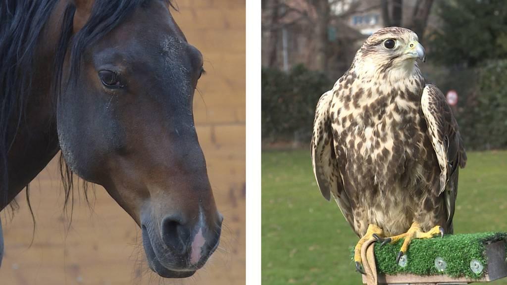 Tierische Unterstützung / Falke gegen Krähen