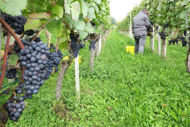 Wümmet beim Weininger Winzer Gottlieb Werffeli
