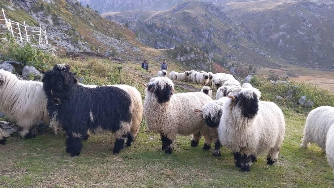 Schafe Alp Vallon de Réchy