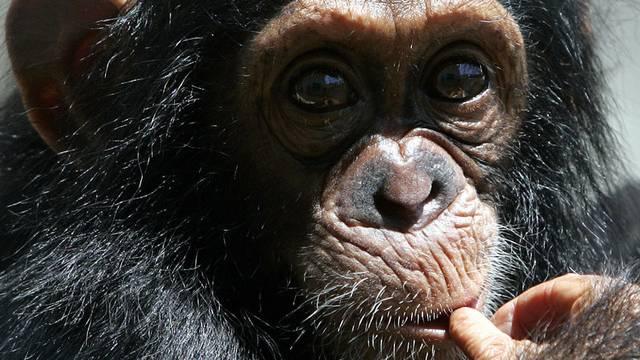 """""""Einmal forschen wie Darwin"""": Auge in Auge mit einem Schimpansen"""